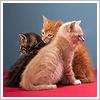 La riproduzione del gatto
