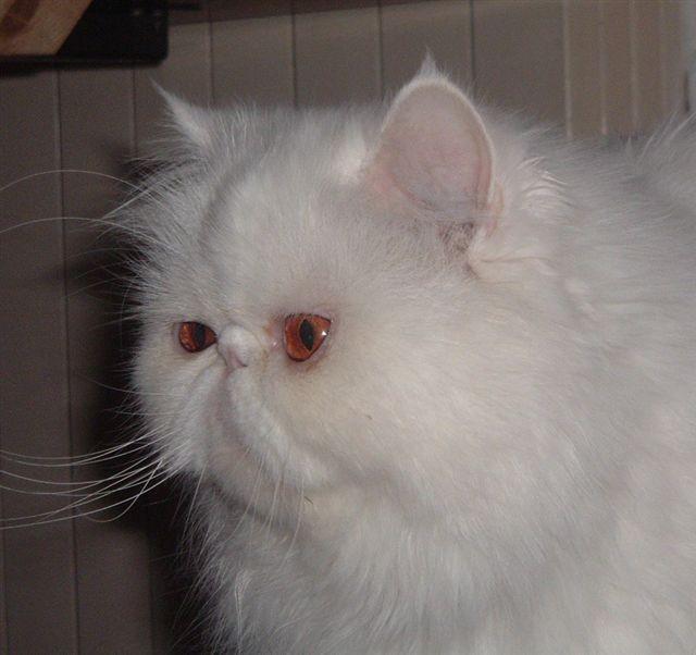 Il Gatto Di Razza Persiano Exotic Shorthair Gatti Co Dove I