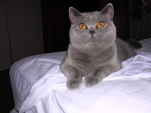Il Gatto Di Razza British Shorthair Gatti Co Dove I Gatti Sono