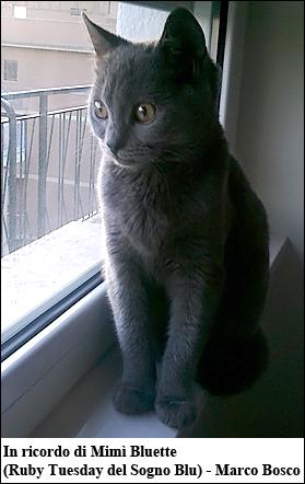 Il Gatto Di Razza Certosino Gatti Co Dove I Gatti Sono Di Casa