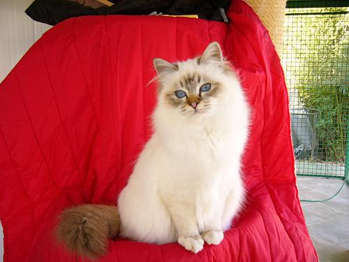 Il Gatto Di Razza Sacro Di Birmania Gatti Co Dove I Gatti Sono