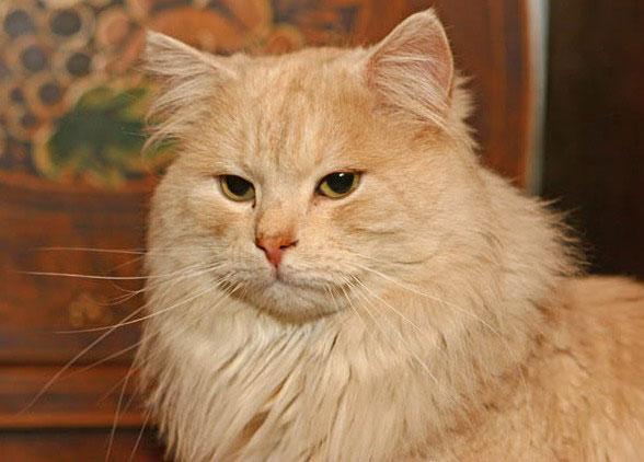 Il Gatto Di Razza Siberiano Gatti Co Dove I Gatti Sono Di Casa