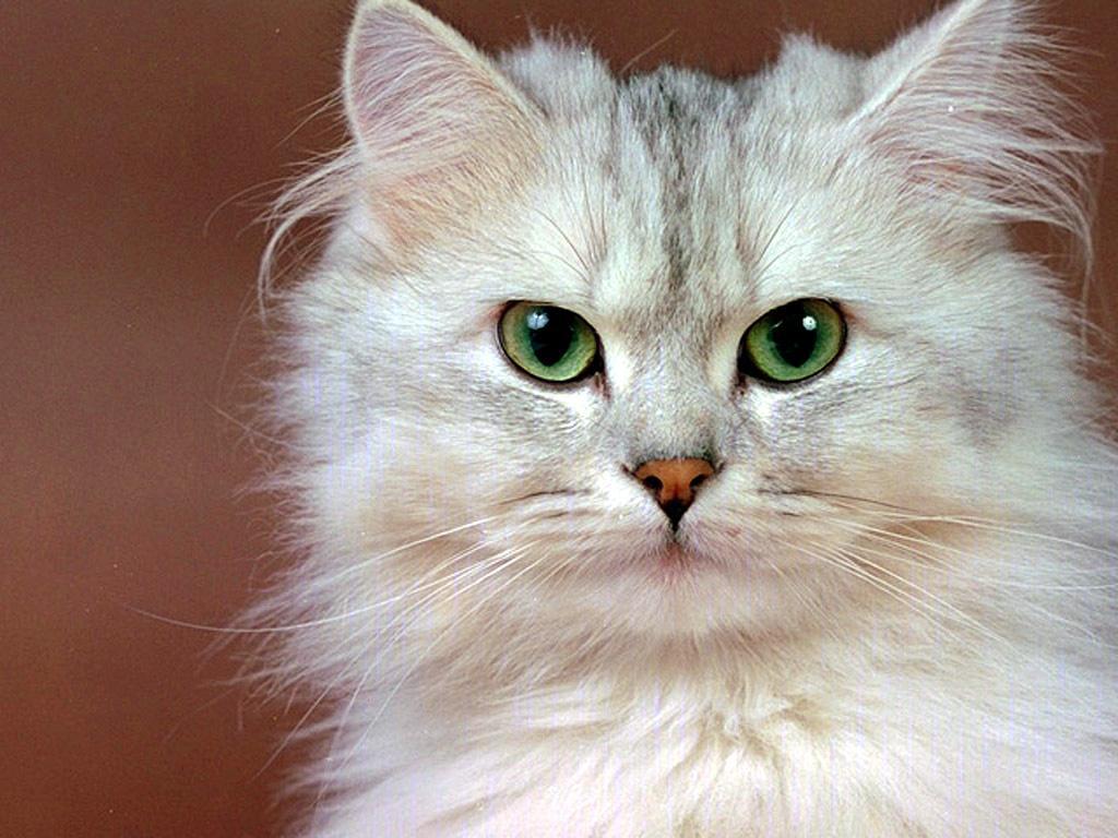 Sfondi belli gatti